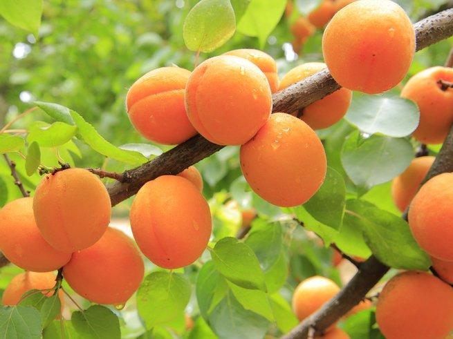 Чем полезен витамин B15 (пангамовая кислота)