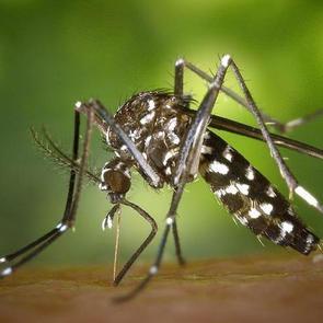 В России зарегистрировали новый вид комаров, способных заражать людей