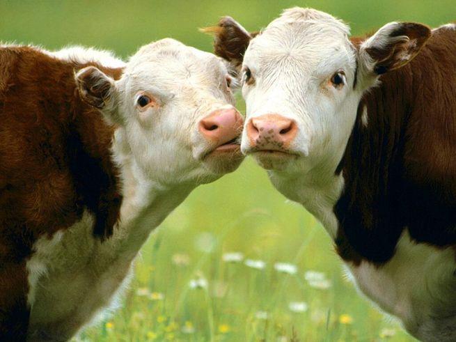 Коровы наказали школьника за  жестокое обращение