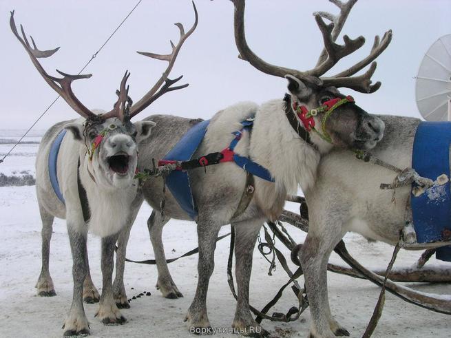 Гостями фестиваля Ice Fantasy станут северные олени