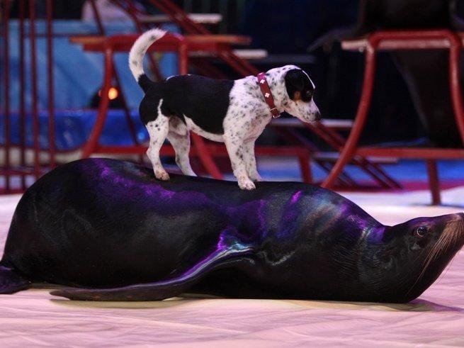 Патагонские морские львы выступят в Цирке «Розовый Слон»