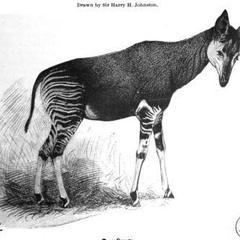 Okapi Ком